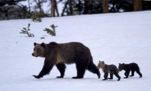mom-bear